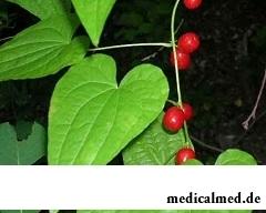 Растение - адамов корень