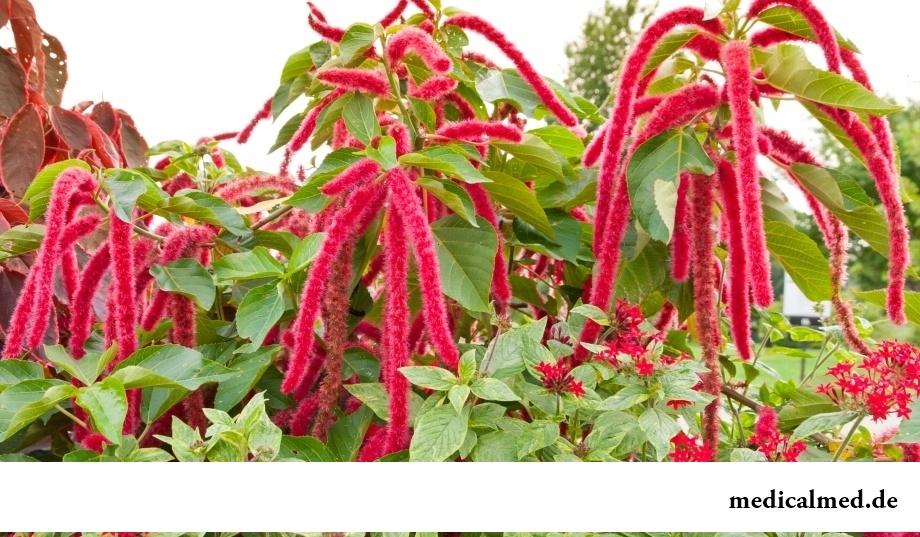 Амарант — растение семейства амарантовые