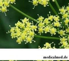 Асафетида - многолетнее травянистое растение из семейства зонтичных