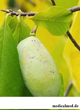 Азимина - особенности выращивания и польза