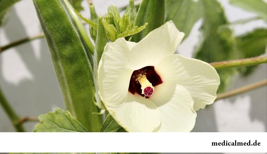Бамия – экзотическое растение