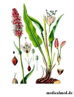 Ботаническая иллюстрация горца змеиного
