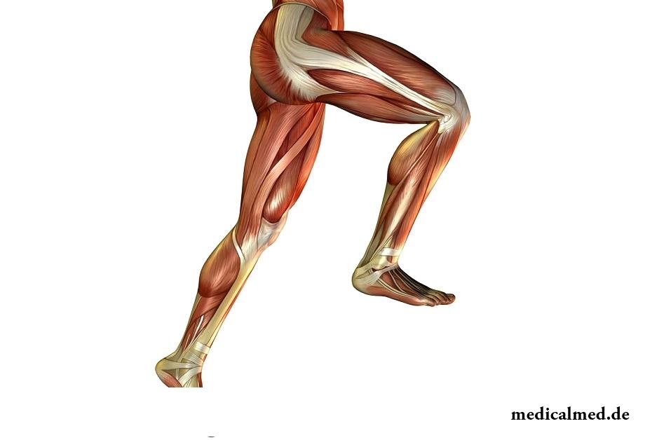 Die Muskeln der unteren Gliedmaßen — der Aufbau, des Traumas