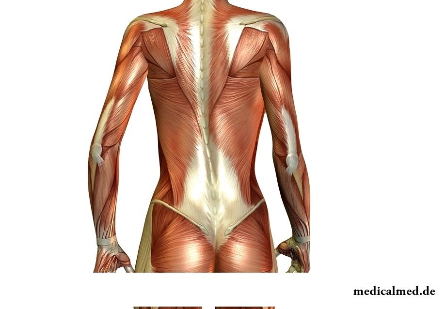 Los músculos de la espalda — el refuerzo, el entrenamiento, el dolor