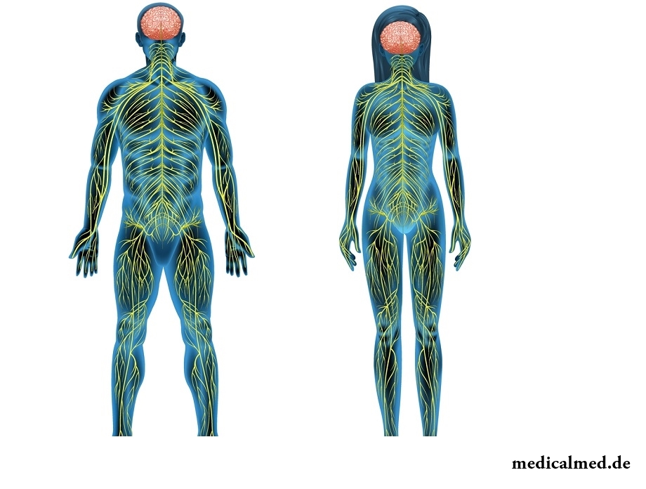 Das Nervensystem - der Aufbau, die Funktion, der Erkrankung